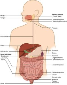 the_Digestive_System image